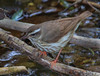 Louisiana Waterthrush (b2921)