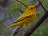 Yellow Warbler (b2871)