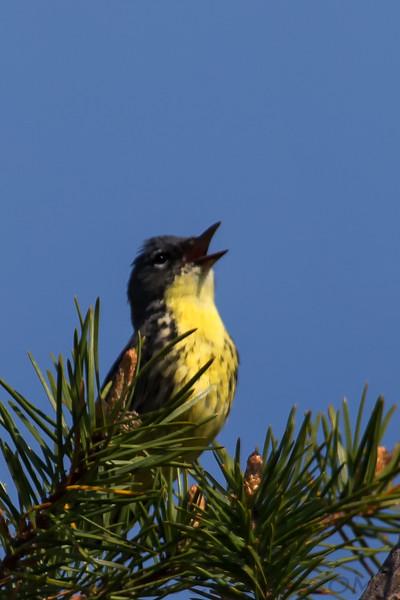 Kirtland's Warbler (b2767)