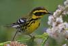 Townsend's Warbler (b2852)