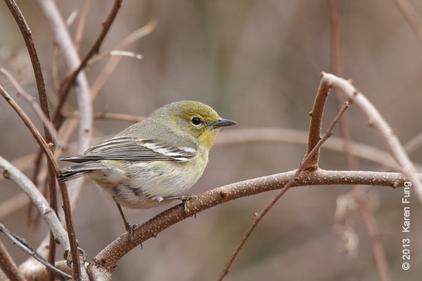 31 March: Pine Warbler at Hempstead Lake State Park