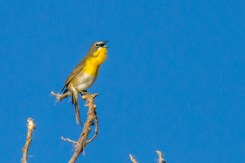 Yellow-breasted Chat, Arches National Park, Utah
