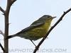 Pine Warbler (b2831)
