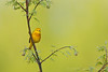 Yellow Warbler<br /> Ithaca, NY