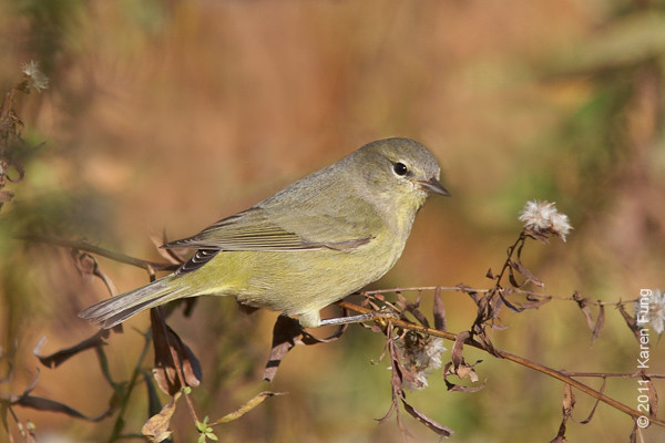 24 November: Orange-crowned Warbler in Central Park