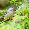 blackpoll warbler: Setophaga striata, Whitby--Thickson's Woods