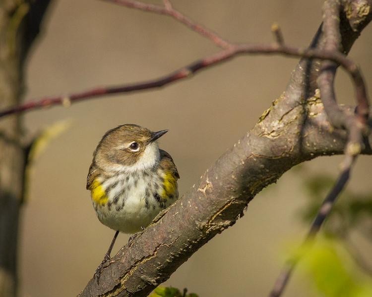 Yellow-rumped Warbler, Prince Edward Point National Wildlife Area, Ontario
