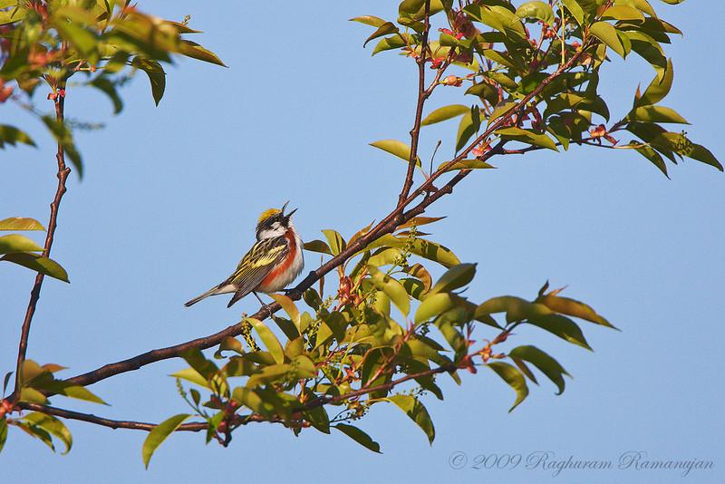 Chestnut-sided Warbler<br /> Finger Lakes National Forest, NY
