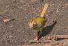 Oven Bird (b1522)