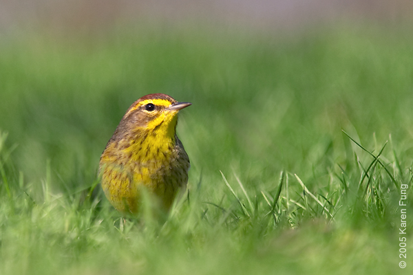 Palm Warbler in Central Park