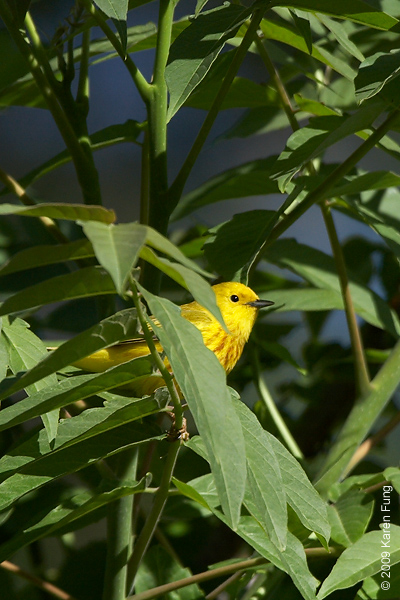 June 1st: Yellow Warbler in Rockland County, NY