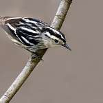Black & White warbler - At Richard W. DeKorte Park