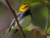 Black Throated Green Warbler (b2705)