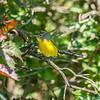 Mud Lake, Nashville warbler: Vermivora ruficapilla
