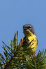 Kirtland's Warbler (b2768)
