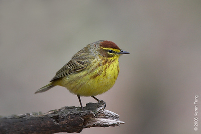 April 13th: Palm Warbler in Riverside Park