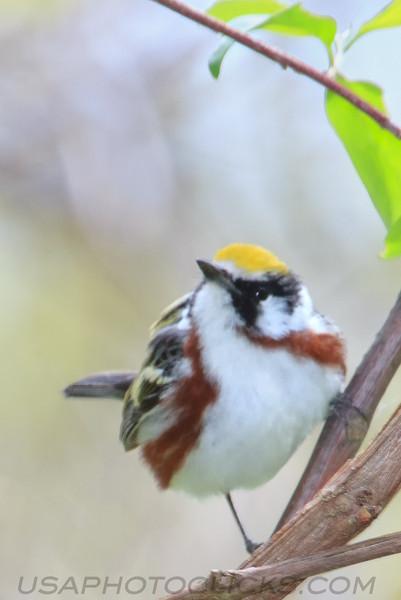 Chestnut Sided Warbler (b2742)