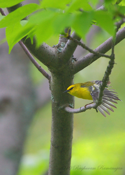 Blue-winged Warbler<br /> Danby State Forest, NY