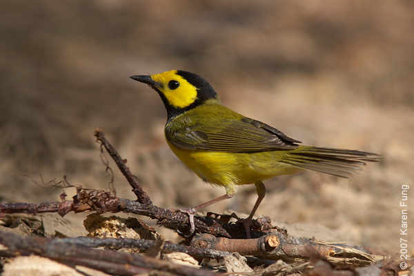 Hooded Warbler in Central Park (Tupelo Meadow)