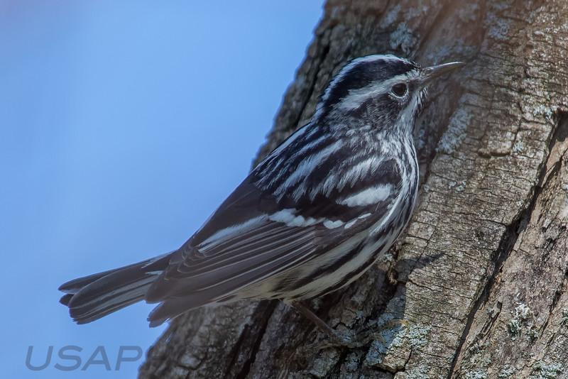 Black and Whitye Warbler (b2684)
