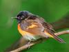 American Redstart (2901)