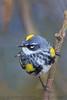 Yellow Rumped Warbler (b2882)