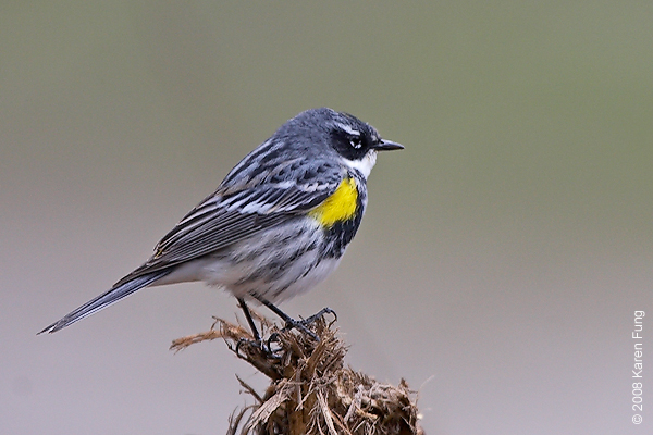 April 13th: Yellow-rumped Warbler in Riverside Park