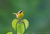 Common Yellowthroat<br /> Freeville, NY