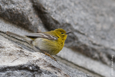 April 7th:  Pine Warbler in Central Park (Belvedere Castle)