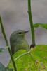 Orange Crowned Warbler (b2815)