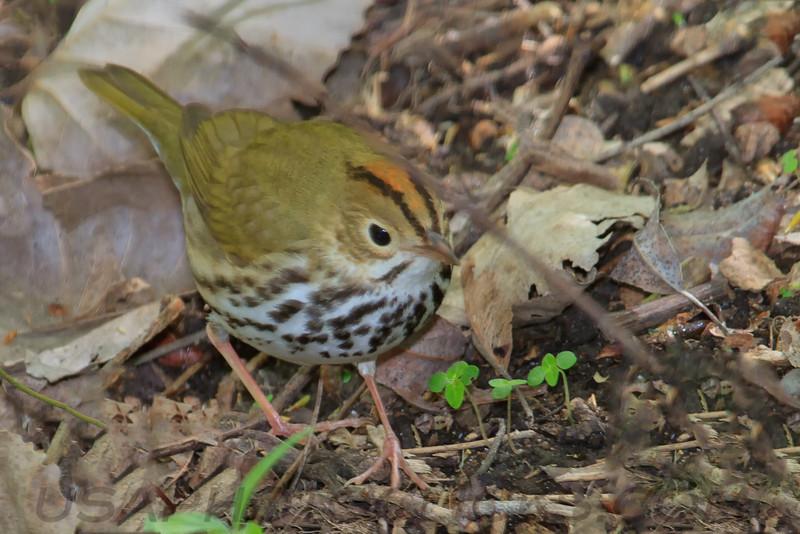 Oven Bird (b0523)