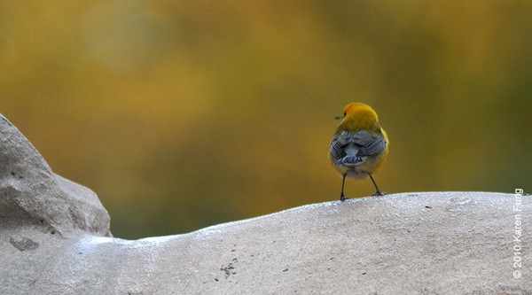 22 Oct: Prothonotary Warbler on the back of Fortitude, one of the two lions flanking the entrance to the New York Public Library.