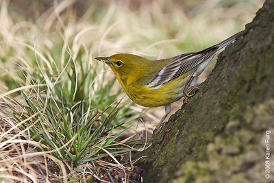 April 12th: Pine Warbler in Central Park