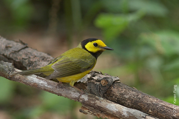 Hooded Warbler in Central Park (Loch)