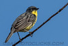Kirtland's Warbler (b2763)