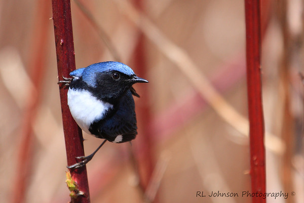Black-throated Blue Warbler - Maggie Valley, NC - May 2014