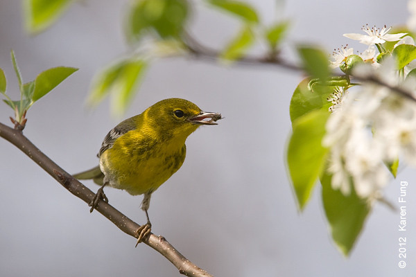 24 March: Pine Warbler in Central Park