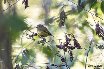 orange-crowned warbler: Vermivora celata, Big Sandy Bay, Wolfe Island, Ontario,
