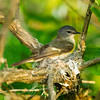 American redstart: Sehaga ruticilla, female, Mud Lake, nesting<br /> See the warblers gallery for VIDEOS of this warbler's nesting activity