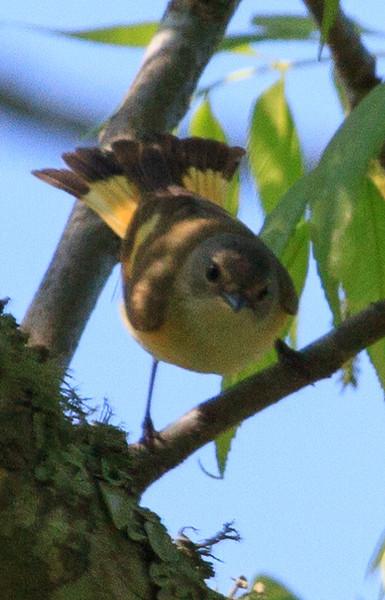 Macgilivray's Warbler (b2771)