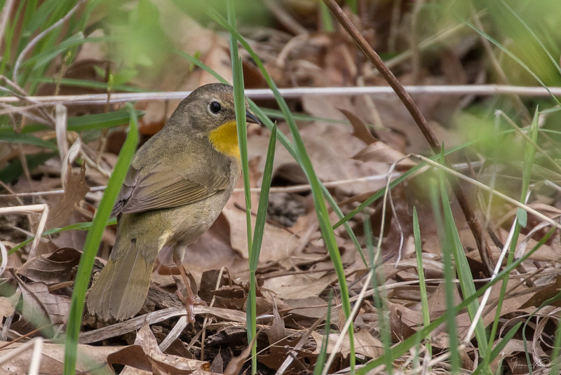 Common yellowthroat (female) - May 2018