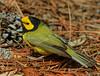 Hooded Warbler (b2752)