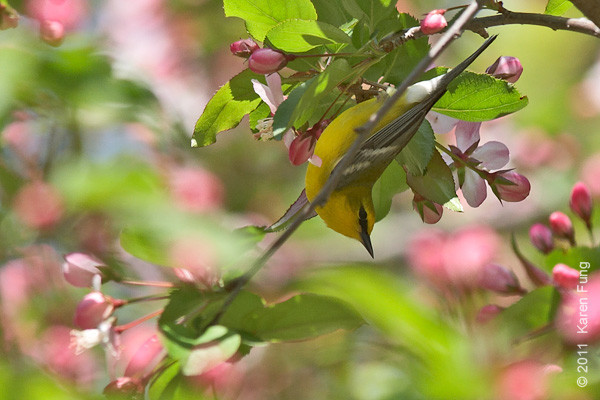 24 April: Blue-winged Warbler in Central Park (Ravine)