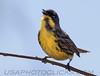 Kirtland's Warbler (2761)