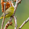 Orange-crowned Warbler, Chugach State Park, Alaska