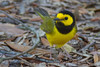 Hooded Warbler (b2754)