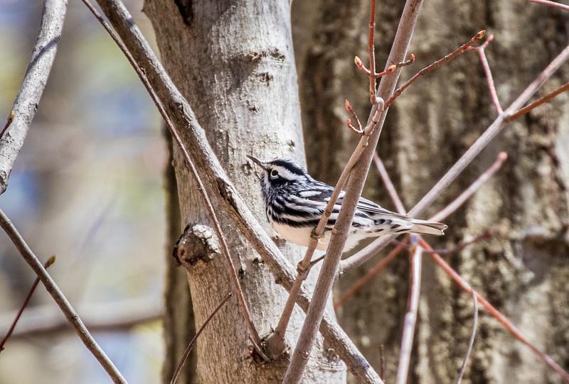 Black-and-white warbler - April 2017, Greenbrook NJ