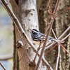 Black-and-white warbler - April 2017, Greenbrook NJ