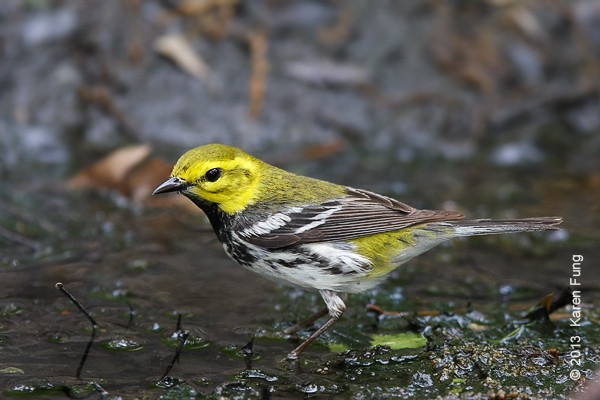 18 May: Black-throated Green Warbler in Central Park