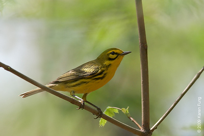 April 26th: Prairie Warbler in Central Park (north of Pool)